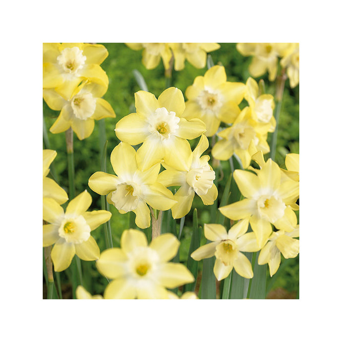 Daffodil Pipit (Pack of 10)