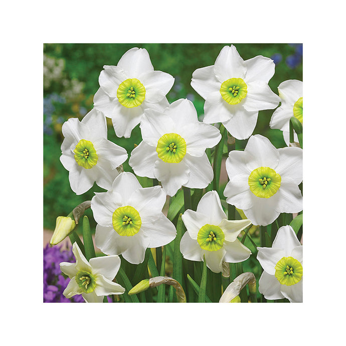 Daffodil Sinopel (Pack of 4)