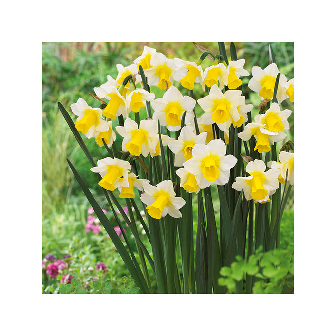 Daffodil Golden Echo (Pack of 10)
