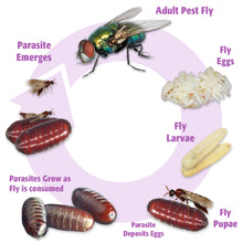 Load image into Gallery viewer, Fly Parasite Complex - life cycle