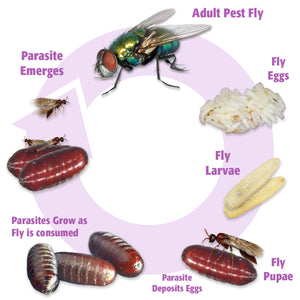 Fly Parasite Complex - life cycle