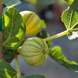 Panache (Tiger) Fig Tree (Standard) (Potted)