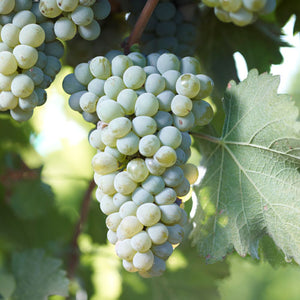 Wine Grape Vine - Sauvignon Blanc