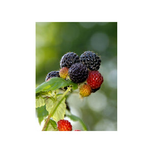 Raspberry Black Jewel (Ea)