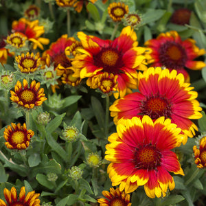 Gaillardia, Indian Blanket (1/4 lb)