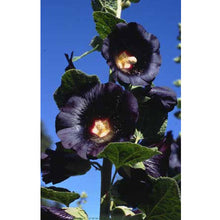 Load image into Gallery viewer, Renee's Garden Hollyhock Old Fashioned Black Watchman (Heirloom)