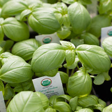 Load image into Gallery viewer, Organic Basil, Genovese (1/4 lb)