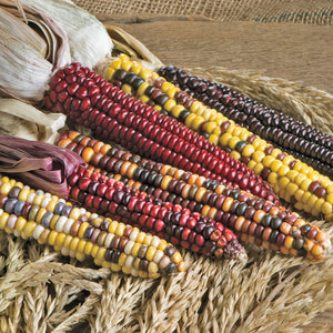 Organic Corn, Painted Mountain