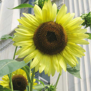 Organic Sunflower, Lemon Queen (1/4 lb)