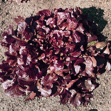 Load image into Gallery viewer, Organic Lettuce, Red Oakleaf (1 oz)