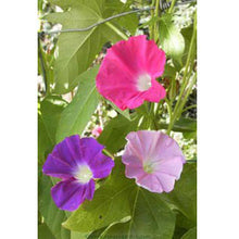 Load image into Gallery viewer, Renee's Garden Morning Glory Early Call (Heirloom)