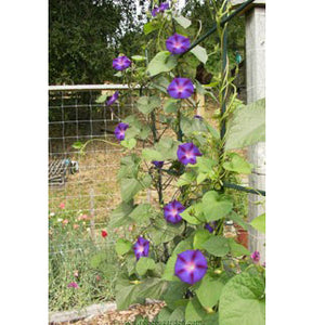 Renee's Garden Morning Glory Grandpa Ott (Heirloom)