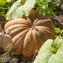 Load image into Gallery viewer, Organic Pumpkin, Musquee de Provence