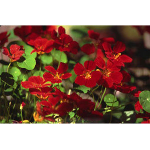 Renee's Garden Nasturtium Mounding Copper Sunset (Heirloom)