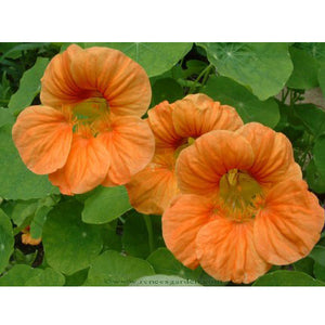 Renee's Garden Hummingbird Nasturtium Creamsicle (Heirloom)