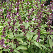 Load image into Gallery viewer, Organic Basil, Thai