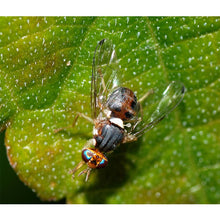 Load image into Gallery viewer, Olive Fruit Fly Lure