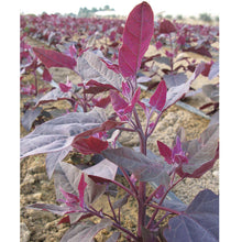 Load image into Gallery viewer, Organic Orach, Red (1 oz)