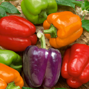 Organic Pepper, Rainbow Bell Mix (1 oz)