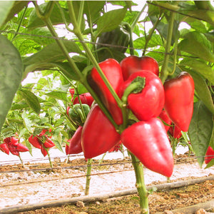 Organic Pepper, Sweet Pimiento