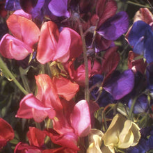Load image into Gallery viewer, Renee's Garden Sweet Pea, Queen of the Night (Heirloom)