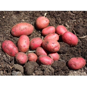 Red Pontiac Organic Potato (lb)