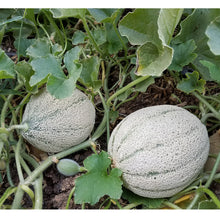 Load image into Gallery viewer, Organic Melon, Rocky Ford Green (1/4 lb)