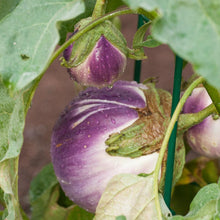 Load image into Gallery viewer, Organic Eggplant, Rosa Bianca