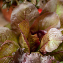 Load image into Gallery viewer, Organic Lettuce, Rouge d'Hiver (1/4 lb)