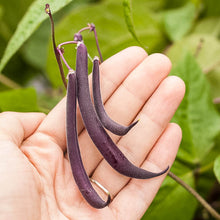 Load image into Gallery viewer, Organic Bean, Bush Royalty Purple Pod