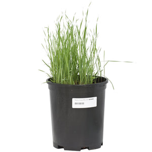 Peaceful Valley Native Grass Mix Seed (Lb)