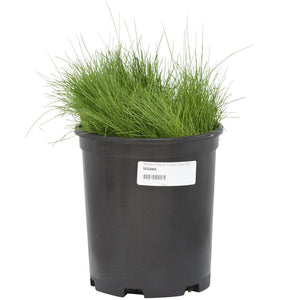 Molate Fescue Native Grass  Seed (Lb)