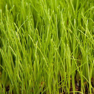 Organic Ryegrass, Oregon Annual (lb)