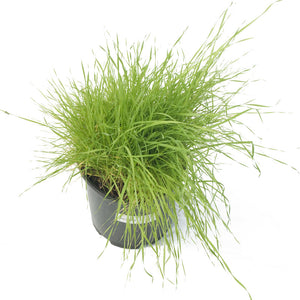 Timothy Grass  Seed (Lb)