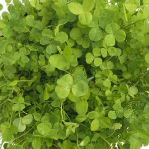 Ladino White Clover - Nitrocoated  Seed (Lb)