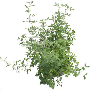 White Sweet Clover - Raw Seed (Lb)