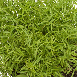 Hairy Vetch - Raw  Seed (Lb)