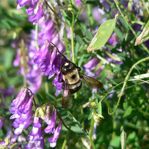Organic Purple Vetch - Raw Seed (Lb)