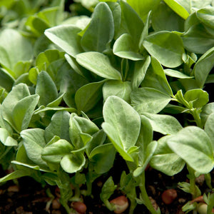 Fava Bean, Windsor, Raw Seed (Lb)