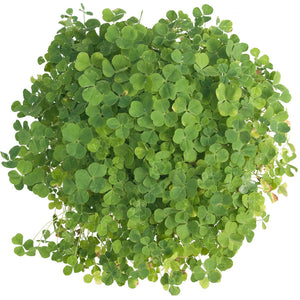 Subterranean Clover Mix - Nitrocoated Seed (Lb)