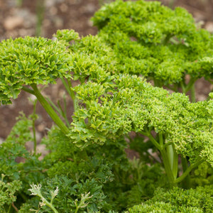 Organic Parsley, Moss Curled (1/4 lb)