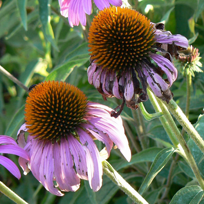 Strictly Medicinal Organic Coneflower, Narrow-leaved
