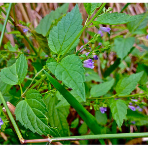 Strictly Medicinal Organic Skullcap
