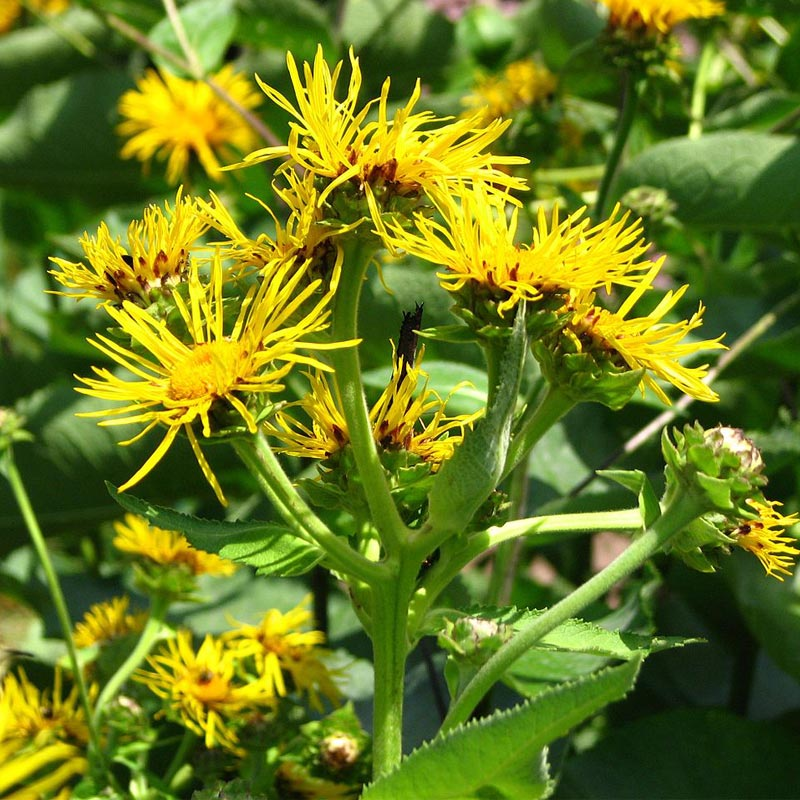 Strictly Medicinal Organic Elecampane, Official