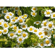 Load image into Gallery viewer, Strictly Medicinal Organic Feverfew