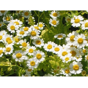 Strictly Medicinal Organic Feverfew