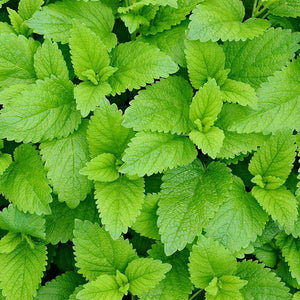 Strictly Medicinal Organic Lemon Balm