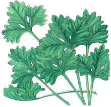 Load image into Gallery viewer, Organic Cilantro