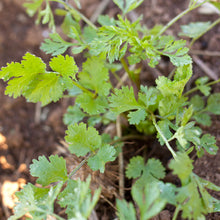 Load image into Gallery viewer, Organic Cilantro (1/4 lb)