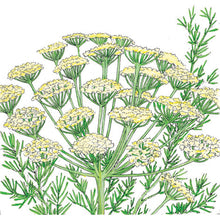 Load image into Gallery viewer, Organic Dill, Bouquet (1/4 lb)